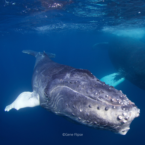 Humpback Whales in Dominican Republic4