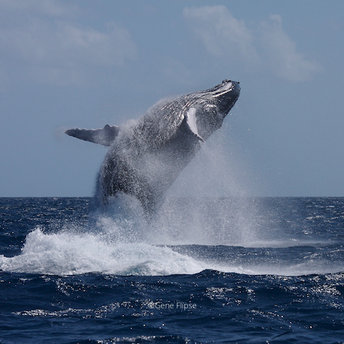 Humpback Whales in Dominican Republic5